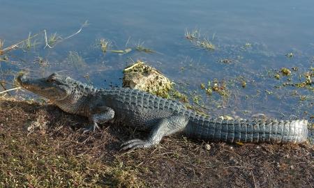American Alligator  Alligator Mississippiensis  basking  in the sun in the Florida Everglades
