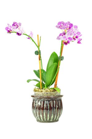 Close up of a purple orchid in the phalaenopsis family, isolated on white