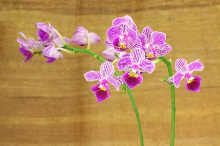 Close up of a purple orchid in the phalaenopsis family