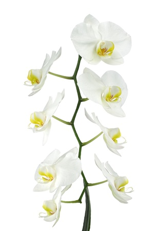 Close up of a White orchid in the phalaenopsis family, isolated on white Фото со стока