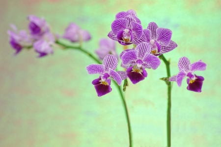 Close up of a purple orchid in the phalaenopsis family photo