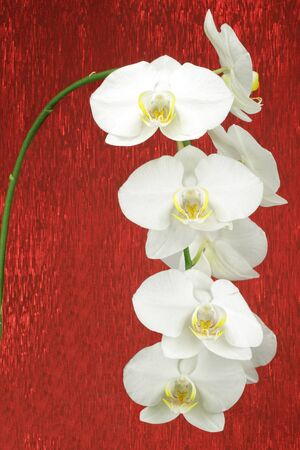Close up of a White orchid in the phalaenopsis family Фото со стока