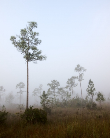 slash: Beautiful landscape in the early morning fog with Slash pine (Pinus elliottii) and in the Florida Everglades National Park.