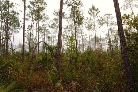 Beautiful landscape in the early morning fog with Saw palmetto (Serenoa repens) Slash pine (Pinus elliottii) and in the Florida Everglades National Park.  Фото со стока