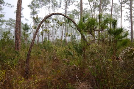Beautiful landscape in the early morning fog with Saw palmetto (Serenoa repens) Slash pine (Pinus elliottii) and in the Florida Everglades National Park.  photo