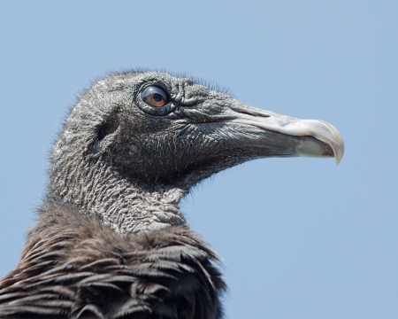 Close-up of the head of a Black Vulture (Coragyps atratus) with droopy eyes  in the Everglades National Park  Фото со стока