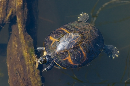 Pond Slider Turtle (Trachemys Scripta) basking in the sun trying to warm up Фото со стока