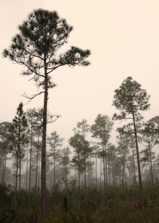Beautiful landscape in the early morning fog with Saw palmetto (Serenoa repens) Slash pine (Pinus elliottii) and in the Everglades National Park.