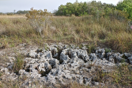 A clear close up view of the Coral rock or limestone foundation in the Everglades National Park
