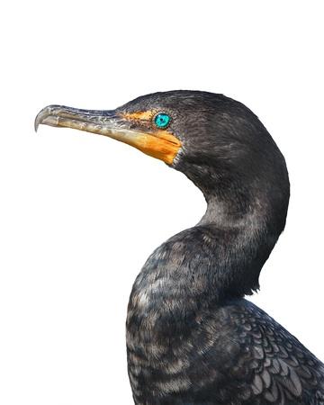 Close up of Double Crested Cormorant (Phalacrocorax auritus)