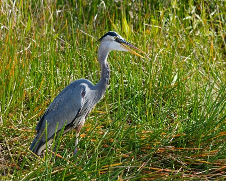 Great Blue Heron (Ardea herodias) waiting for his next meal in the Florida Everglades