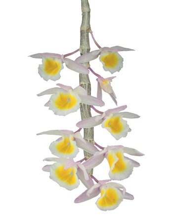 Beautiful  rare Primrose Yellow Dendrobium orchid (Dendrobium Primulinum) isolated on white. This colorful and delicate orchid is native to Thailand, Himalayas, Nepal, Laos, China , Vietnam
