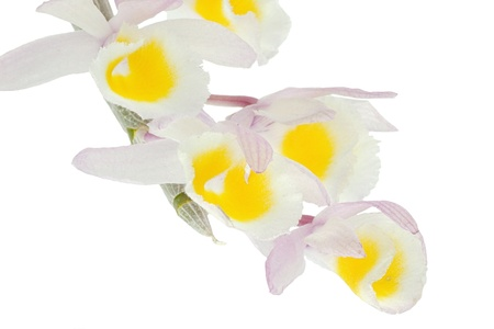 beautiful rare: Beautiful  rare Primrose Yellow Dendrobium orchid (Dendrobium Primulinum) isolated on white. This colorful and delicate orchid is native to Thailand, Himalayas, Nepal, Laos, China , Vietnam