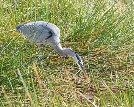 Great Blue Heron (Ardea herodias) in the Florida Everglades