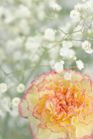 Beautiful carnation, the flower of love, with  Gypsophila or Baby Breath flowers in the background Фото со стока