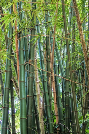close up of giant Bamboo stems