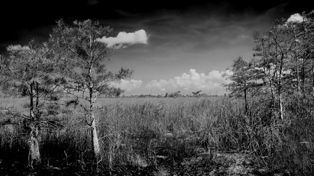 Beautiful scene of the Florida Everglades Landscape in black and white with cypress trees and a slough or river of grass in the background