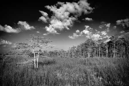 Beautiful scene of the Florida Everglades Landscape in black and white with cypress trees and a slough or river of grass in the background Фото со стока - 35921177
