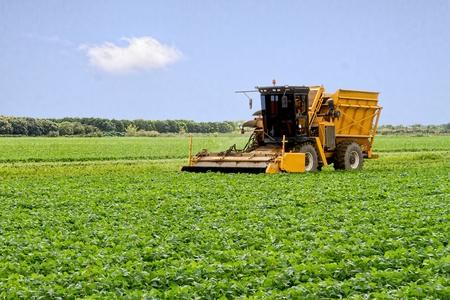 cosechadora: Cosechadora recogiendo la cosecha de la temporada