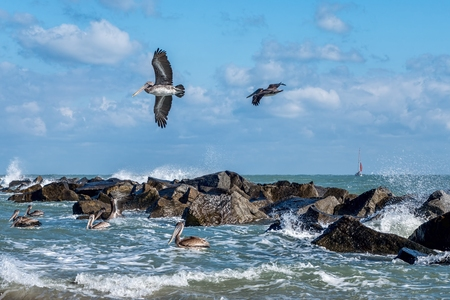 pierce: Pelicans at the Fort Pierce inlet, Florida. The Florida Brown Pelican Pelecanus Occidentalis is  the smallest of all pelicans in the United States Stock Photo