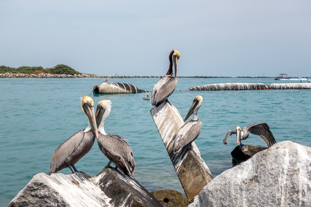 Pelicans at the Fort Pierce inlet, Florida. The Florida Brown Pelican Pelecanus Occidentalis is  the smallest of all pelicans in the United States Фото со стока
