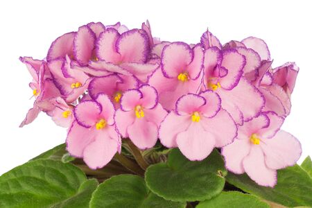 Close up of pink colored African Violets flowers Фото со стока