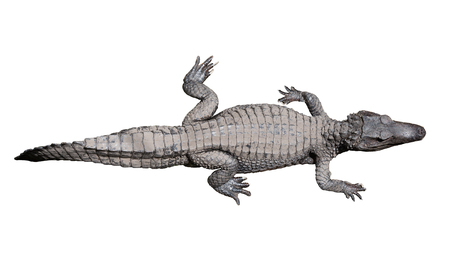 Close up of a black Caiman (Melanosuchus niger) isolated on white