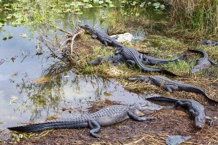 Group of American Alligators (Alligator Mississippiensis) basking in the sun in the Florida Everglades during the winterspring drought Фото со стока