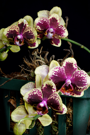 Isolated close up of a Hybrid purple and yellow orchid in the phalaenopsis family