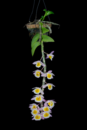 Beautiful Isolated Primrose Yellow Dendrobium orchid (Dendrobium Primulinum). This colorful and delicate orchid is native to Thailand, Himalayas, Nepal, Laos, China, Vietnam