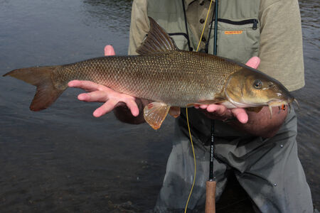 barbel: A Lippe barbel that put up a good fight on the flyrod