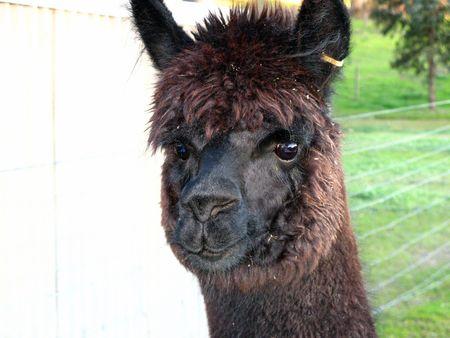 alpaca: alpaca Stock Photo