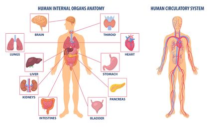 Two diagrams showing the anatomy of the human body, one with the circulatory system and the other with organ icons, colored vector illustration