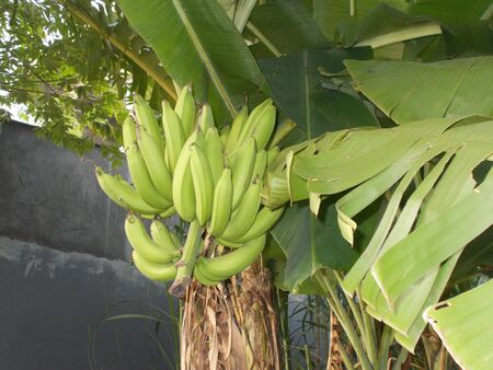 front or back yard: Banana tree with big fruit on it