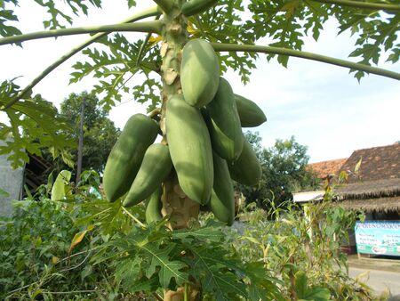 back or front yard: Green papaya at the papaya plant on the garden Stock Photo
