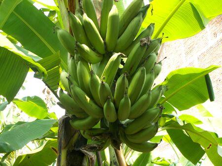 back or front yard: Banana at the banana tree Stock Photo