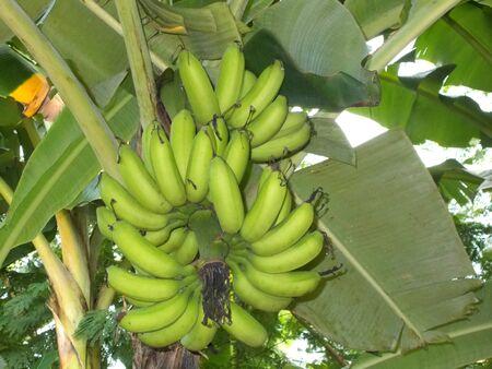 front  or back  yard: the Green banana on the banana tree