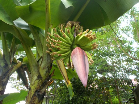 front  or back  yard: Red Banana flower