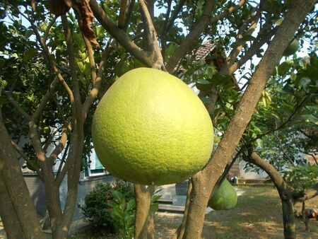 front  or back  yard: Old pomelo fruit on the pomelo tree