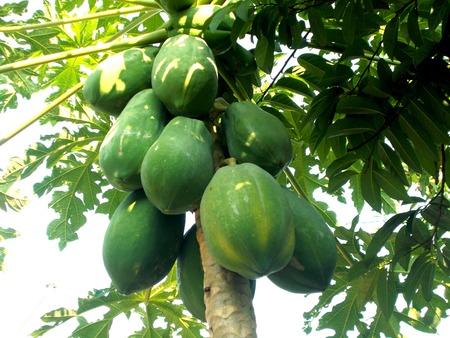 front  or back  yard: Green Papaya fruit on the papaya tree