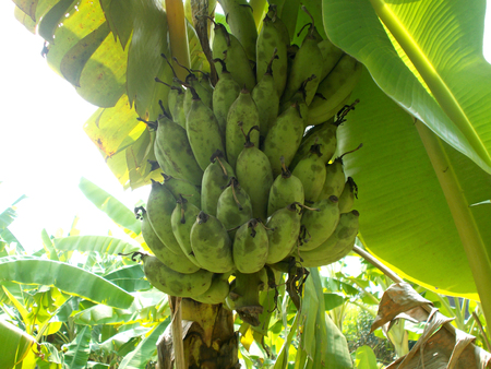 front  or back  yard: Old banana fruit and leaf on banana tree