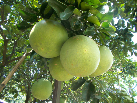 big leafs: five pomelo fruits or grapefruit hanging on the tree