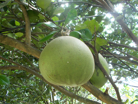 citrus maxima: Two big pomelo at the tree, grapefruit Stock Photo