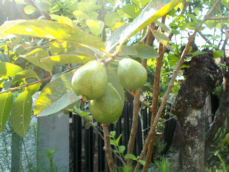 guava fruit: guava fruit on the tree Stock Photo