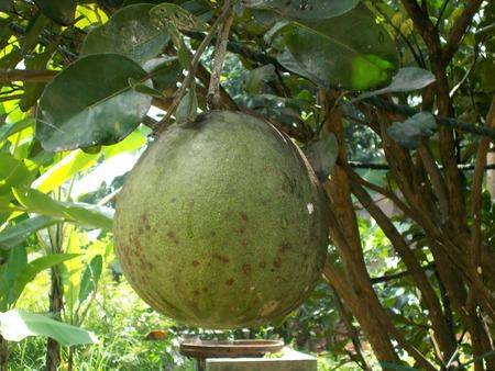pomelo: Big pomelo or grapefruit at the pomelo plants Stock Photo