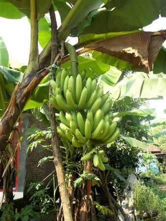 bunches: bunches of banana on the plants or tree