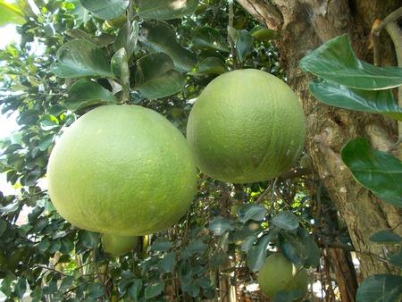florida citrus: Grapefruit od pomelo hanging on the tree Stock Photo