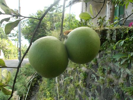 citrus maxima: Big pomelo or grapefruit and the plants, citrus maxima