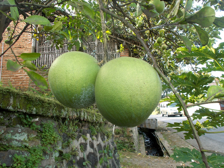 citrus maxima: Two pomelo or grapefruit on the tree or plants, citrus maxima