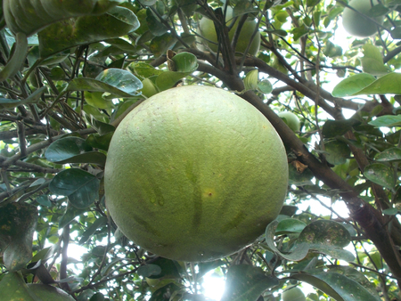 citrus maxima: One big grapefruit or pomelo on the tree